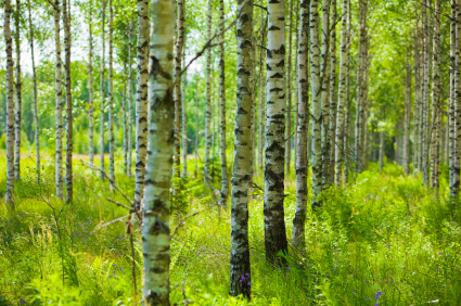 Seeing the forest for the Birch reduction