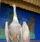 a stuffed sandhill crane