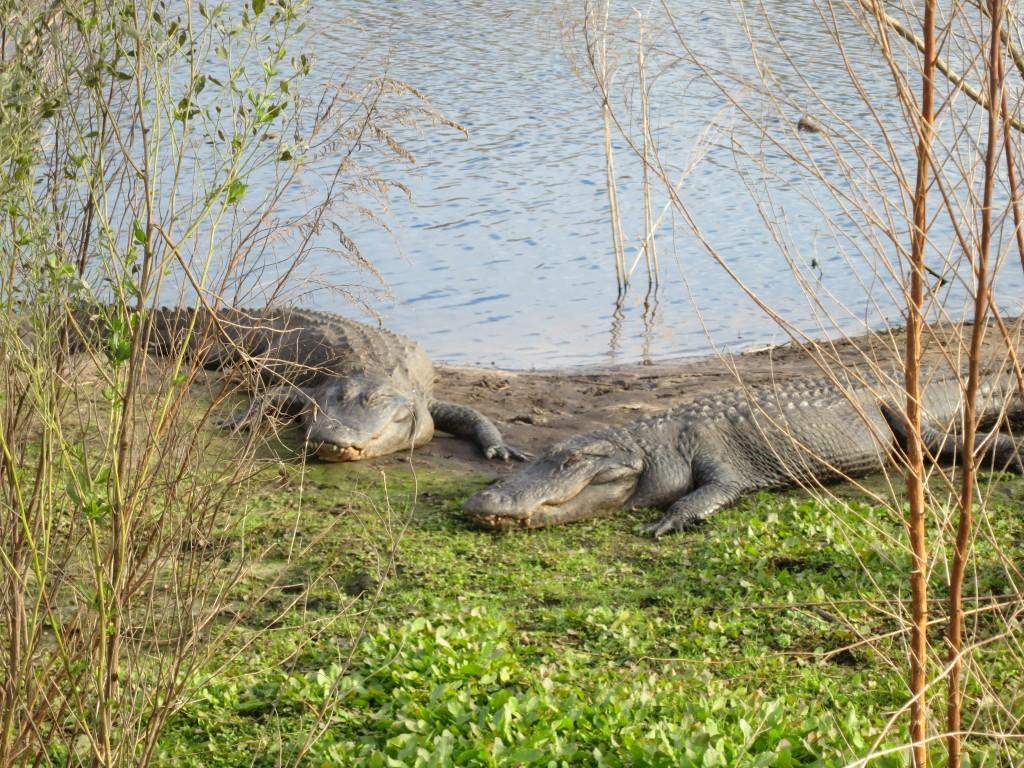 alligators at Paynes Prairie